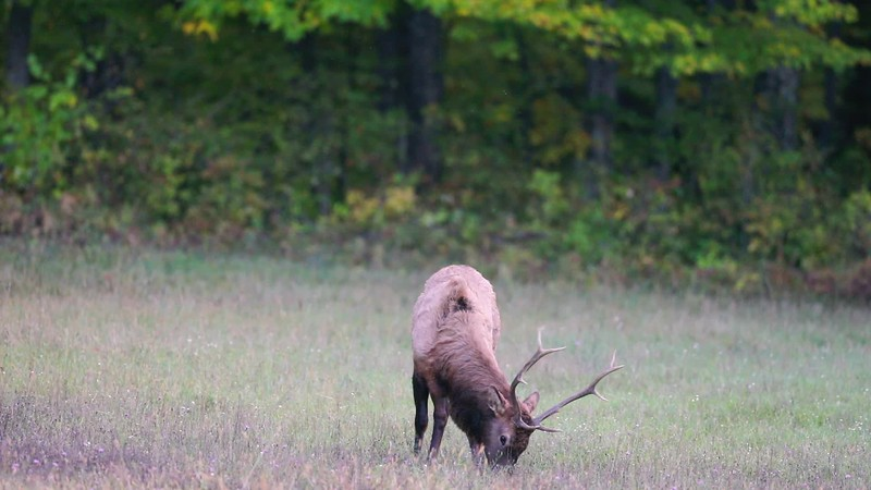 VIDEO - Elk Grazing