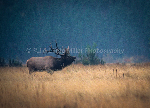 Bull Elk, Rocky Mountains, North America