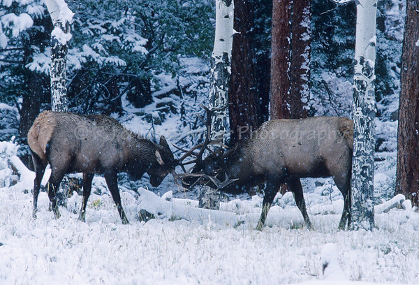 Bull Elk, Rocky Mountains, North America