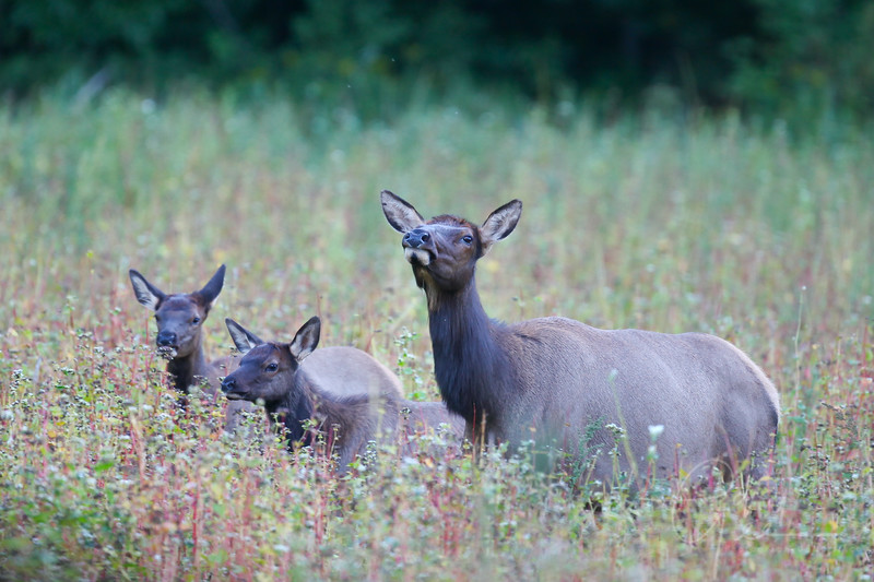 Cow and young elk