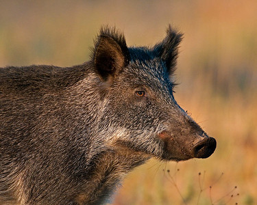 Feral Pig (Sow), Wichita Mountains Wildlife Refuge, Oklahoma