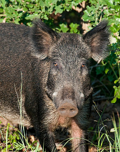 Feral Pig, Wichita Mountains Wildlife Refuge, Oklahoma