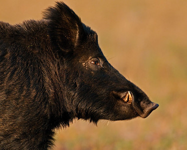 Feral Pig (Boar), Wichita Mountains Wildlife Refuge, Oklahoma