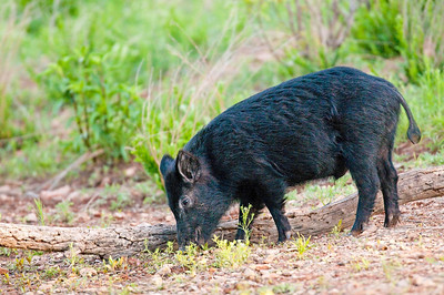 Feral Hog, Wichita Mountains Wildlife Refuge, Oklahoma
