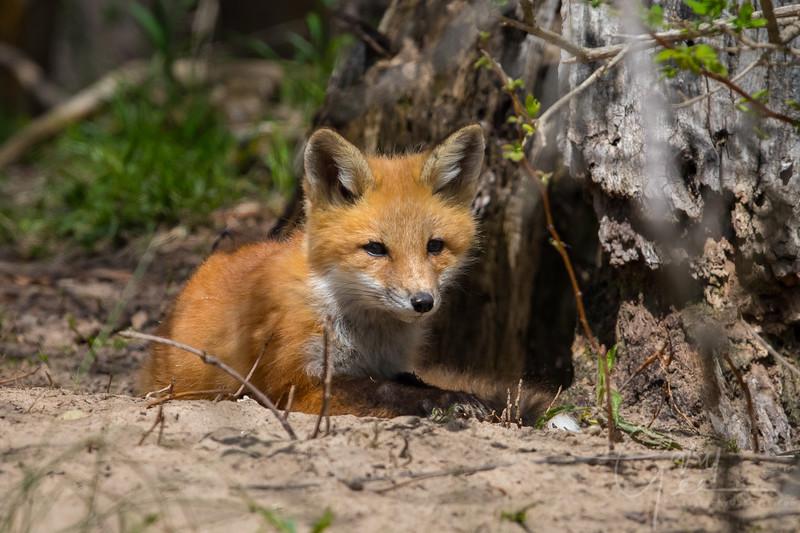 Fox Kit 12