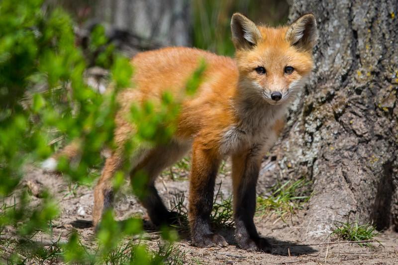 Fox Kit 14