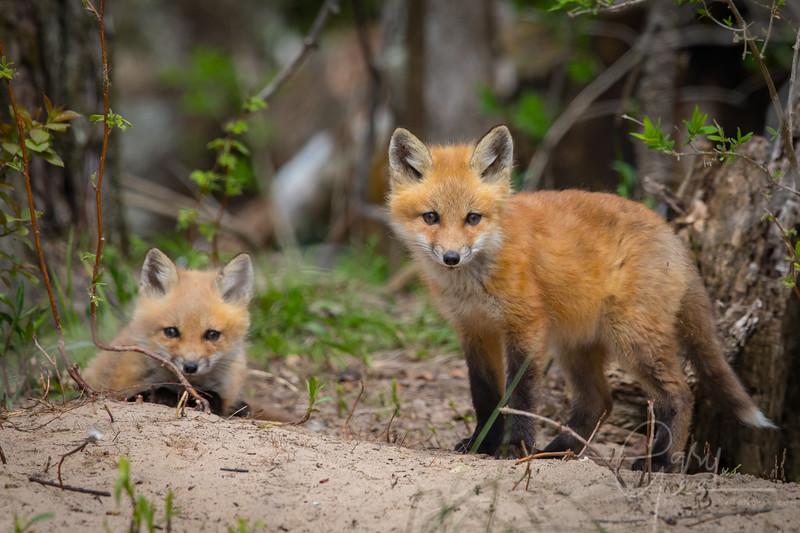 Fox Kits 10