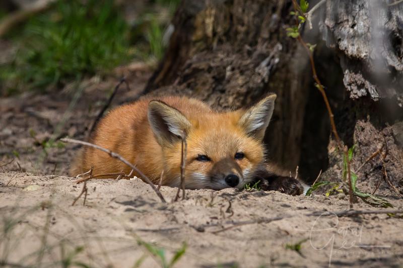 Fox Kit 13