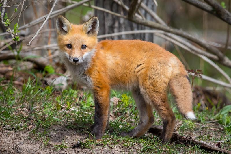Fox Kit 8