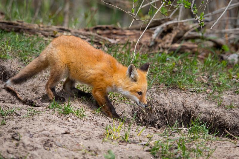 Fox Kit 9