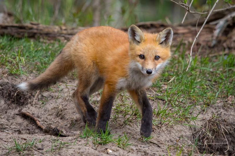 Fox Kit 6