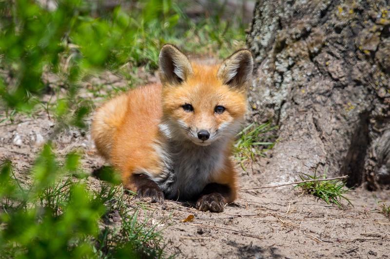 Fox Kit 15