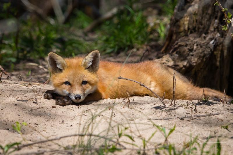 Fox Kit 17