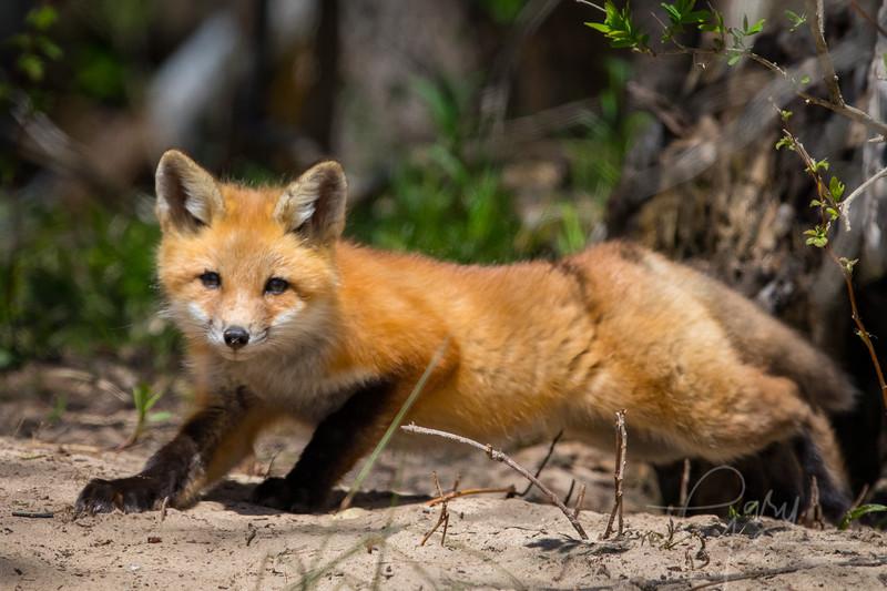 Fox Kit 16