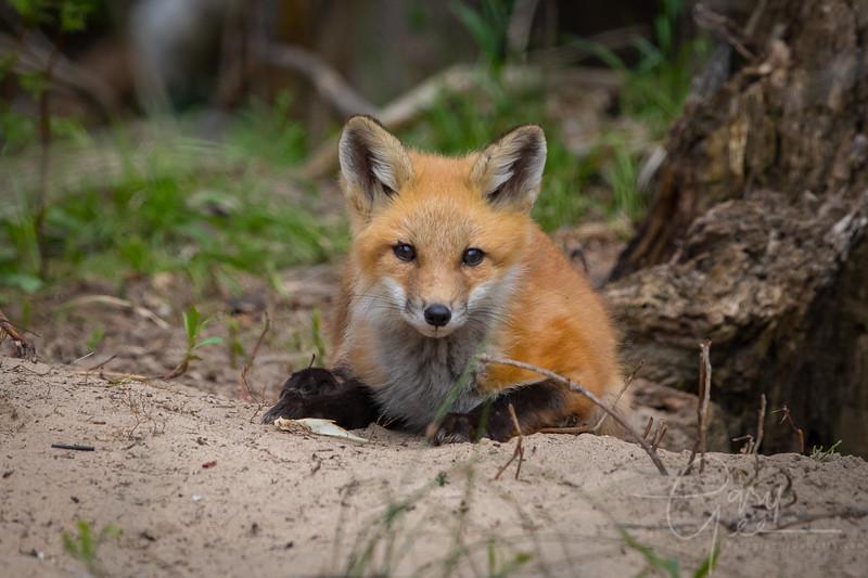 Fox Kit 4