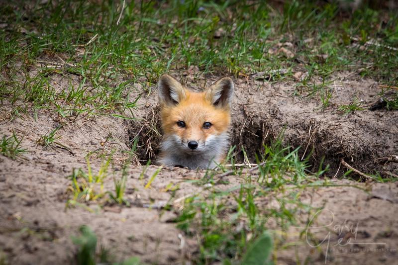 Fox Kit 7