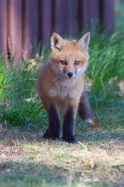 Cute Kit Fox