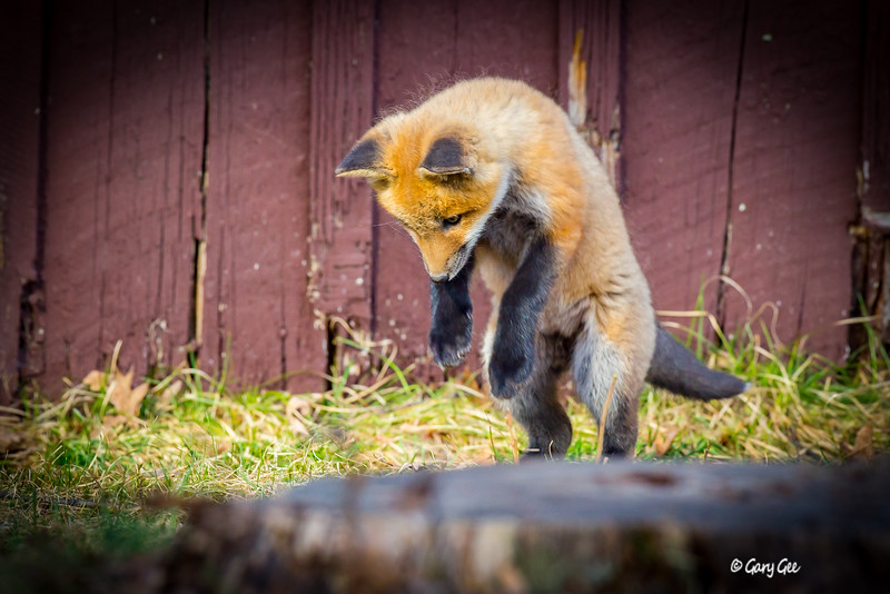 Kit fox ready to pounce on a house fly that had his attention