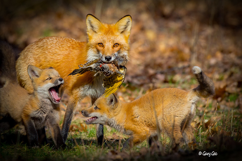 Fox Family preparing for a dinner! Lewiston, MI