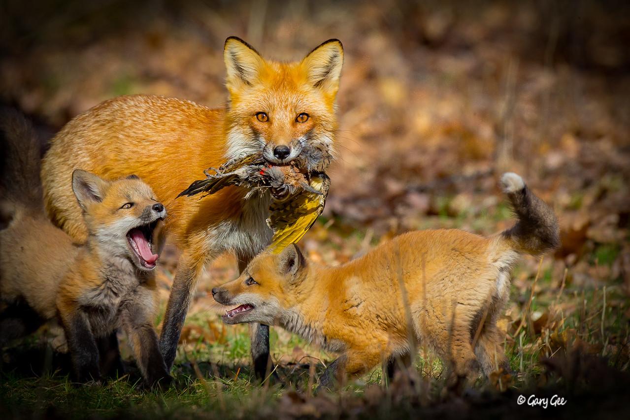 Fox Family preparing for a dinner! Lewiston, MI