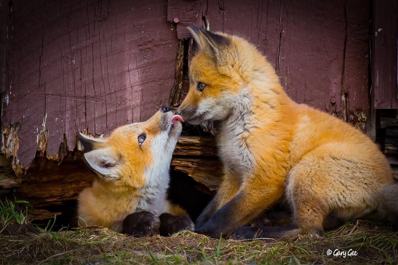 Kit Foxes Kissing