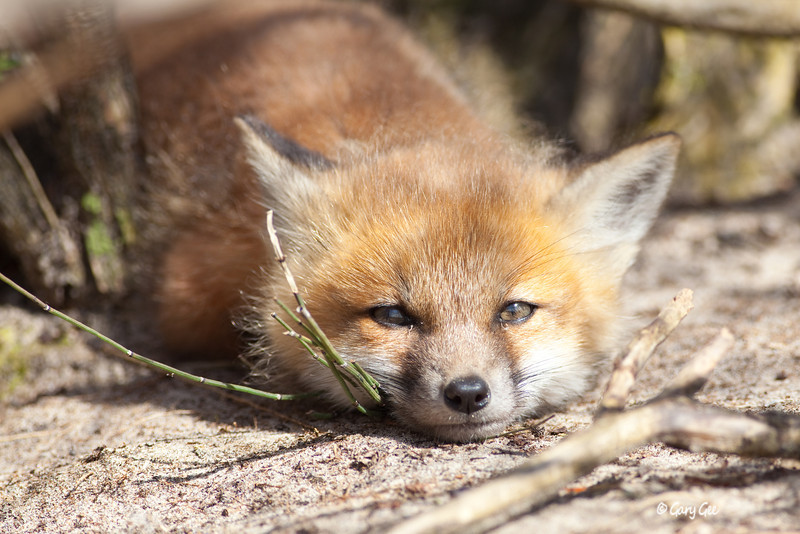 Sleepy little kit fox
