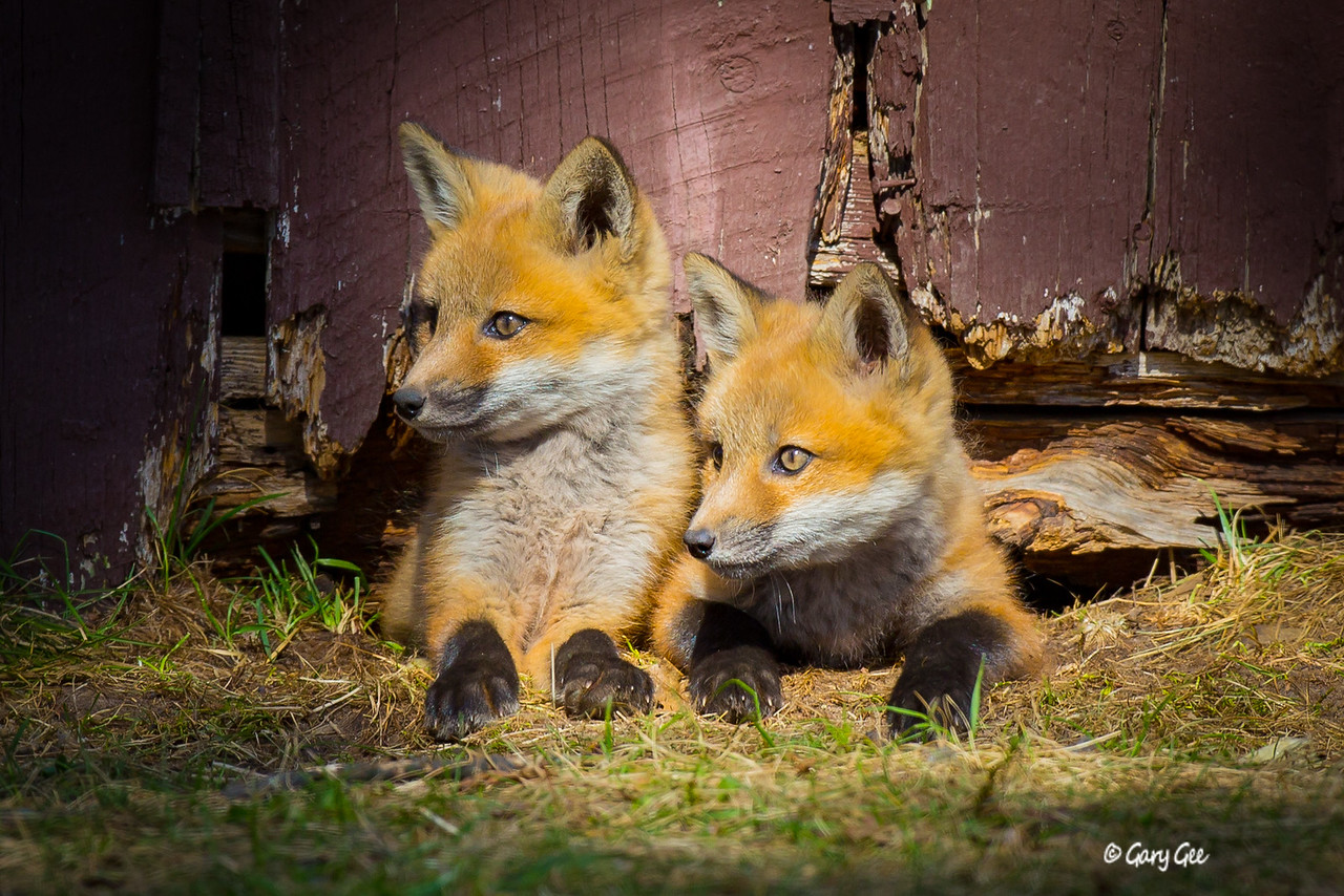 Fox Kits in the evening light