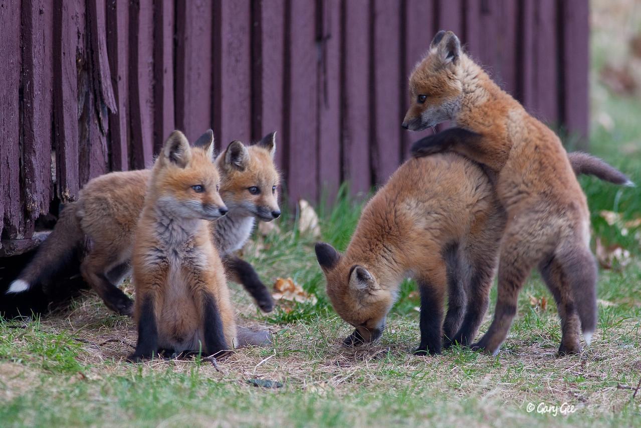 Playtime Kit Foxes
