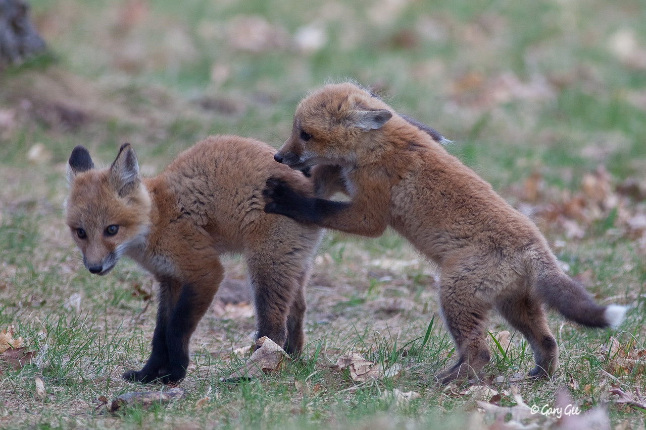 Pair of Kit Foxes Playing Around