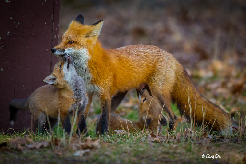Red Fox nursing