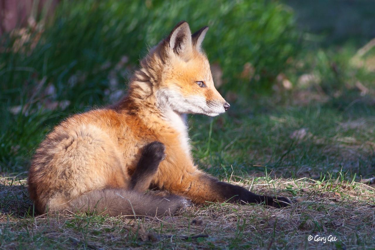 Kit Fox in the warm morning sun....