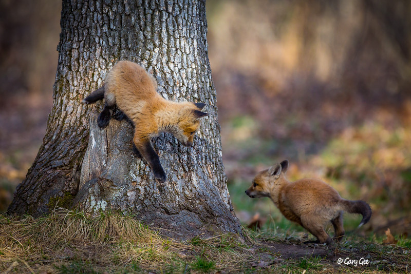 Kit foxes chasing each other around a tree