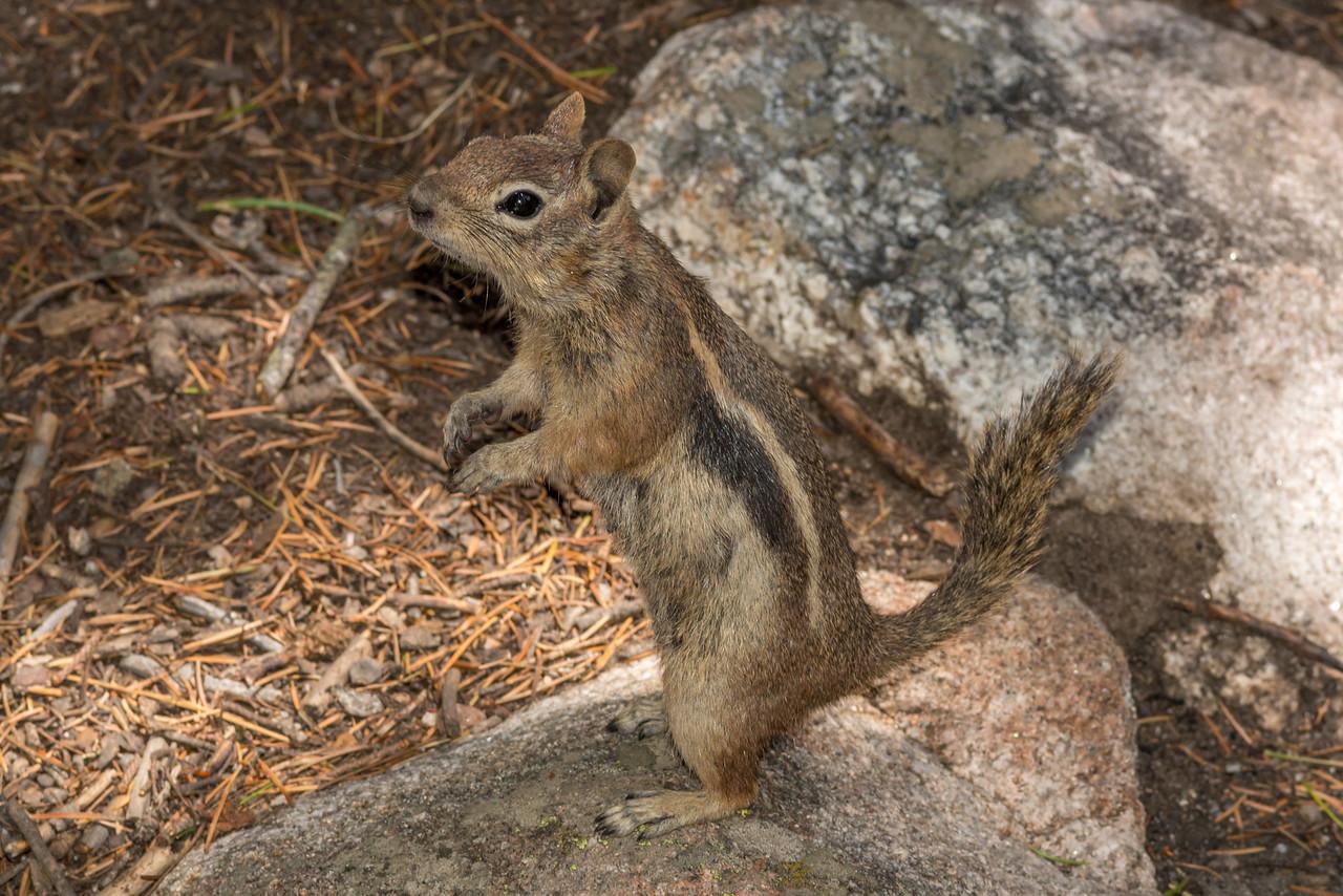 Golden-mantled ground squirrel (Spermophilus lateralis). Estes Park, Colorado, USA.