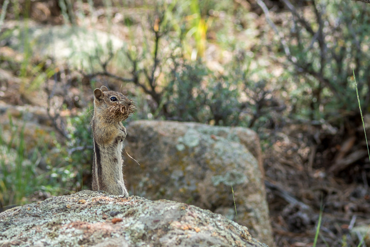 Golden-mantled ground squirrel (Spermophilus lateralis), carrying nesting material. Estes Park, Colorado, USA.