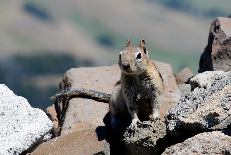 Golden-mantled ground squirrel (Spermophilus lateralis). Mt Washburn, Yellowstone National Park, USA.