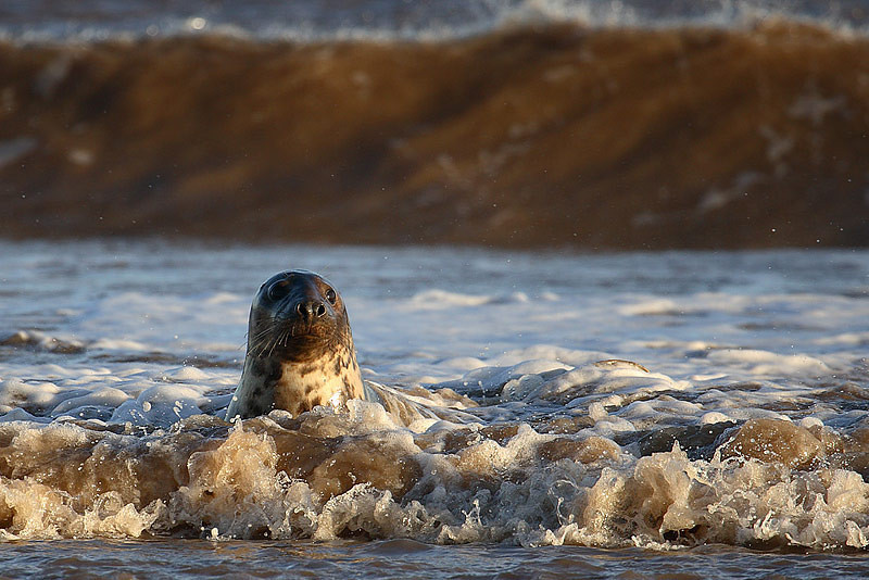 Seal and waves