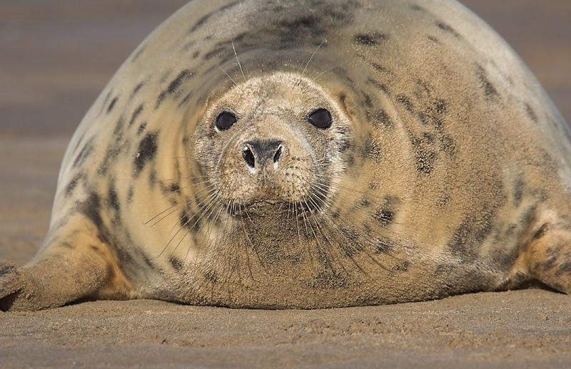 Está Vd como una foca