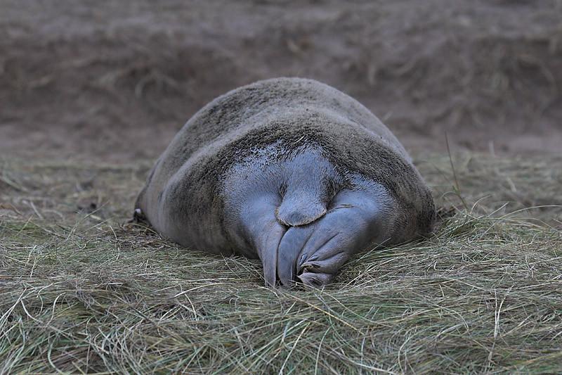 Culo de foca