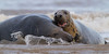 Grey Seal couple