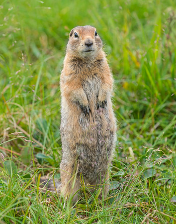 Artic Ground Squirrel, Denali National Park, AK