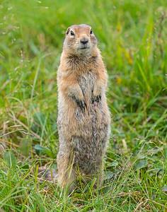Artic Ground Squirrel, Denali National Park, AK