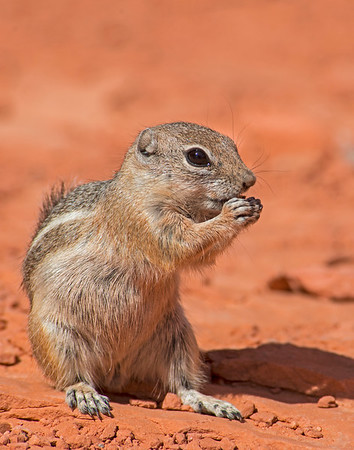 Antelope Ground Squirrel, Valley of Fire State park, NV