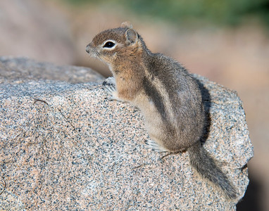 Golden Mantled Ground Squirrel, Rocky Mountain National Park, CO