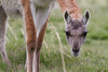 Guanaco watching me