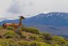 Torres del Paine. Guanaco