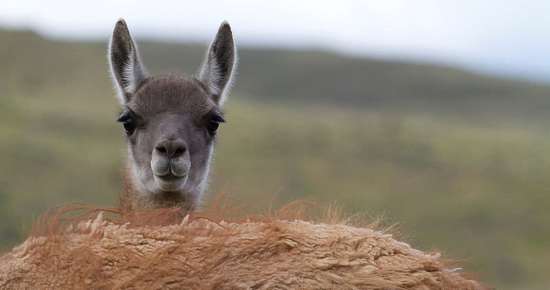 Guanaco portrait. Torres del Paine National Park. Chile