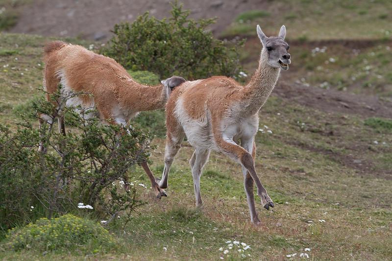 Guanacos (Lama guanicoe)