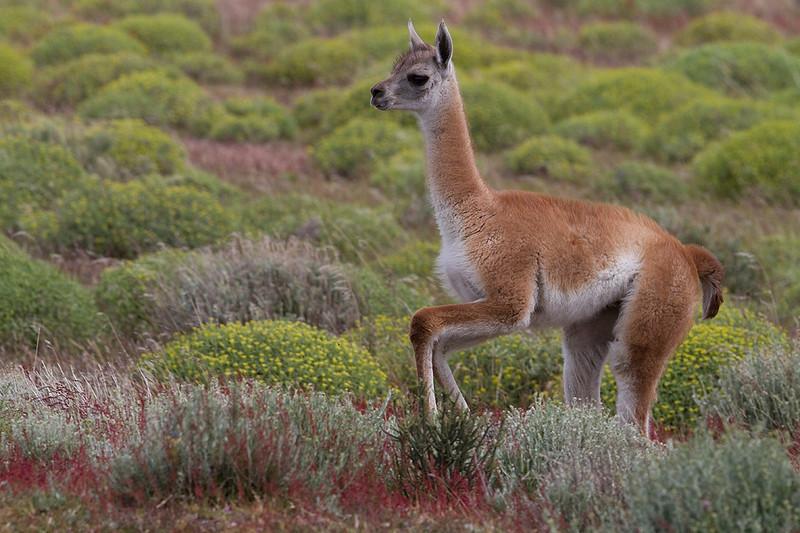 Chulengo (Young guanaco)