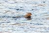 Swimming Hare