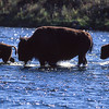 Bison crossing river.  Yellowstone NP, Wyoming.